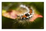 macro-insecte_chenilleOrgyia.jpg